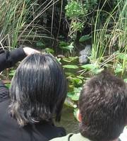 Alligatorhiding